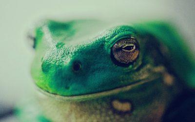 Der herbe Kuss des Frosches